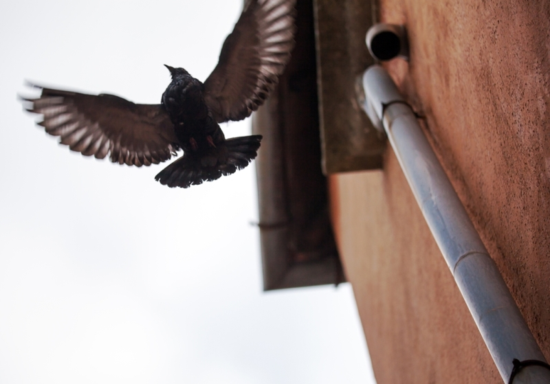 Low angle shot of flying bird showing wing spread by the wall with rainwater downpipe against sky background